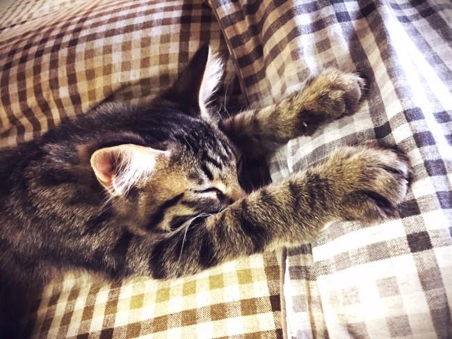 猫カフェの子猫